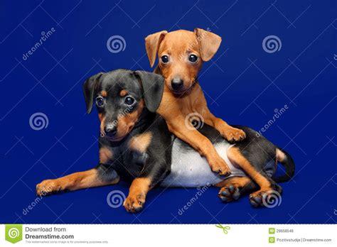 free miniature pinscher puppies miniature pinscher puppies royalty free stock image image 28658546