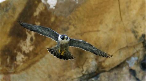 animali volanti falco pellegrino falco peregrinus animali volanti