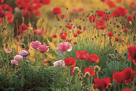 Poppy Flower Garden Growing Poppy Flowers Garden Design