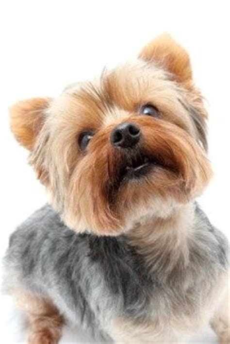 yorkie info center terrier information center different yorkie haircut styles yorkies
