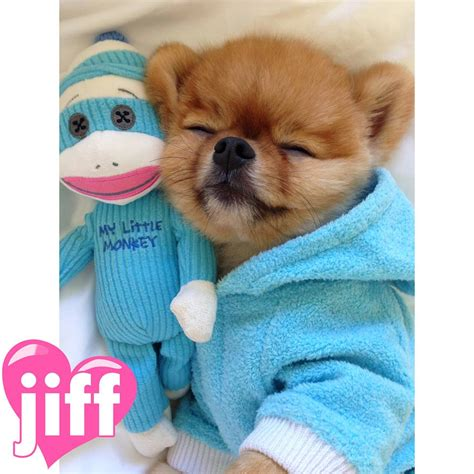 jiff pomeranian jiff the pomeranian steals the show a letter to my