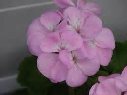 Benih Biji Bunga Geranium Perenial benih geranium pinto quiksilver 3 biji non retail