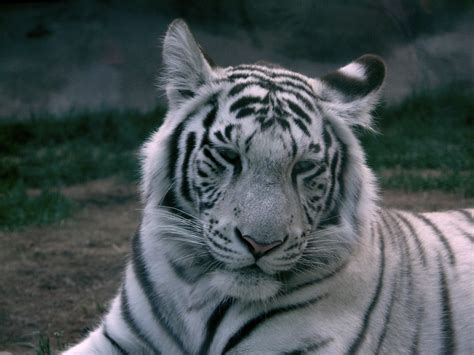 Tiger White 30 most beautiful tiger pictures that will inspire you