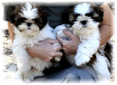 shih tzu for sale in tn ga shih tzu shih tzu puppies for sale in fl al tn sc nc atl breeds picture