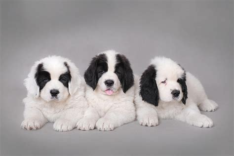 landseer puppies three landseer puppies portrait photograph by waldek dabrowski