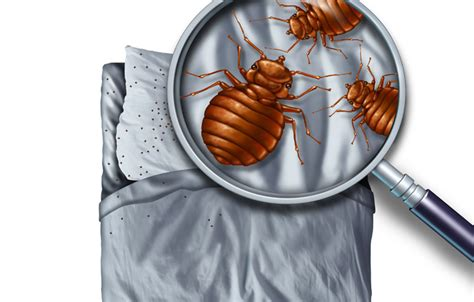 what are bed bugs and where do they come from what is a bedbug and how do they spread