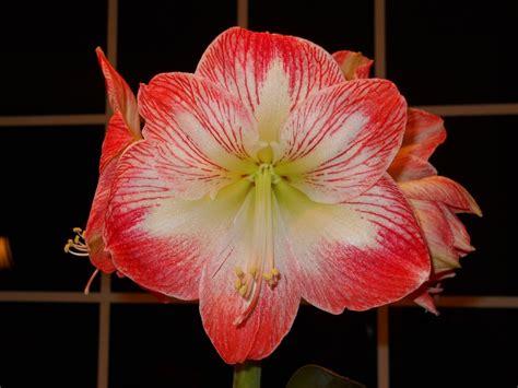 Garten Amaryllis Pflegen Pflanzen by Amaryllis Pflege Bl 252 Hende Rittersterne Garten Mix