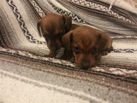 mini dachshund puppies for sale ohio dachshund puppies for sale columbus ohio home