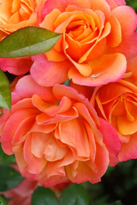 nice orange color the gardens of petersonville my roses aren t perfect