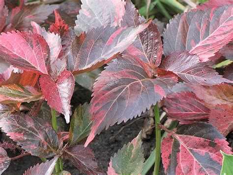 tricolor copper plant acalypha wilkesiana tricolor