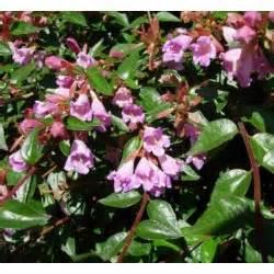 Délicieux Arbuste Persistant A Fleur #1: abelia-edouard-goucher-jardin-fleur-decoratif-floraison-persistant-arbuste-haie-rustique-parfume.jpg