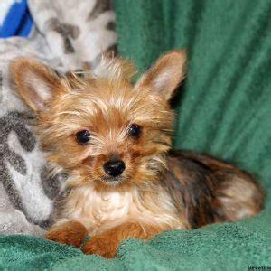 yorkie breeders in nj for sale yorkie mix puppies for sale in de md ny nj philly dc and baltimore breeds picture