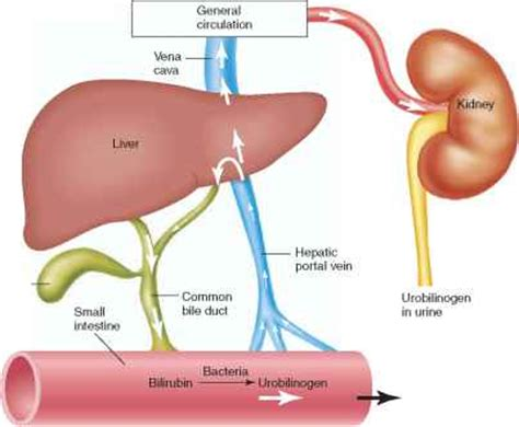 Bile Salts Liver Detox by Enterohepatic Circulation Human Physiology 78 Steps
