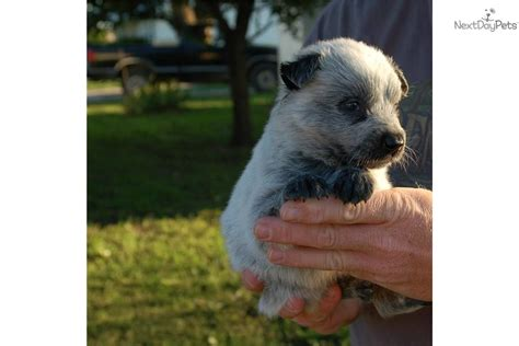 queensland heeler puppies craigslist heeler in springfield mo breeds picture