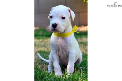dogo argentino puppy price dogo argentino dogo argentino puppy for sale near arizona 0a73f6b2 2171