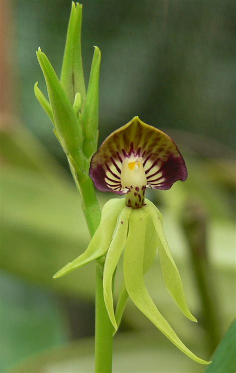 The Black Orchid the black orchid at caves branch belize s national flower