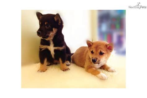 shiba inu puppies nyc shiba inu shiba inu puppy for sale near new york city new york 282e096b cac1