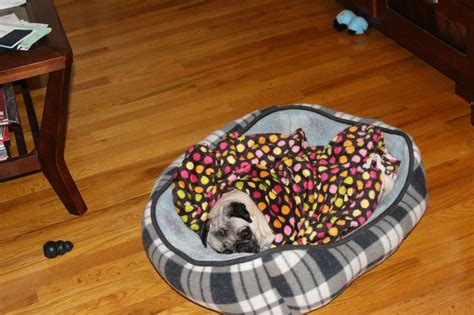 pug cozy 17 best images about pugs in a blanket on physical therapy beds and stay