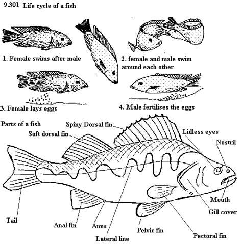 fish cycle diagram year5