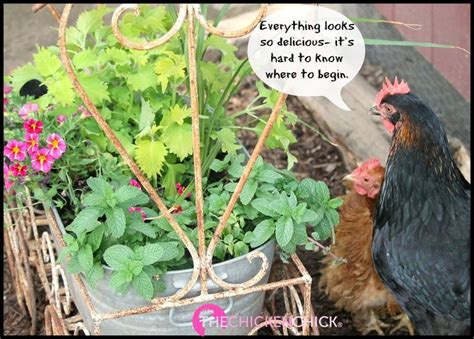 backyard chickens and flies 24739 best pinning with my peeps the chicken chick
