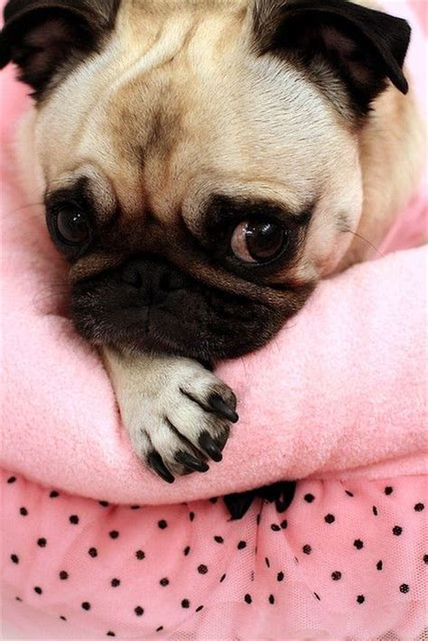 tell me about pugs pink pug canine