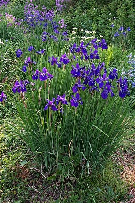 growing and dividing siberian iris gardening pinterest