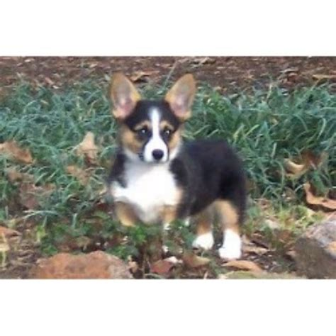 corgi puppies virginia girlshopes
