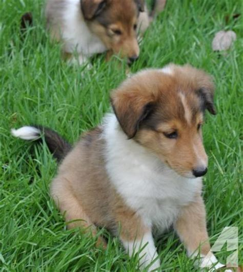 sheltie puppies for sale in ga sheltie puppy for sale in lookout mountain