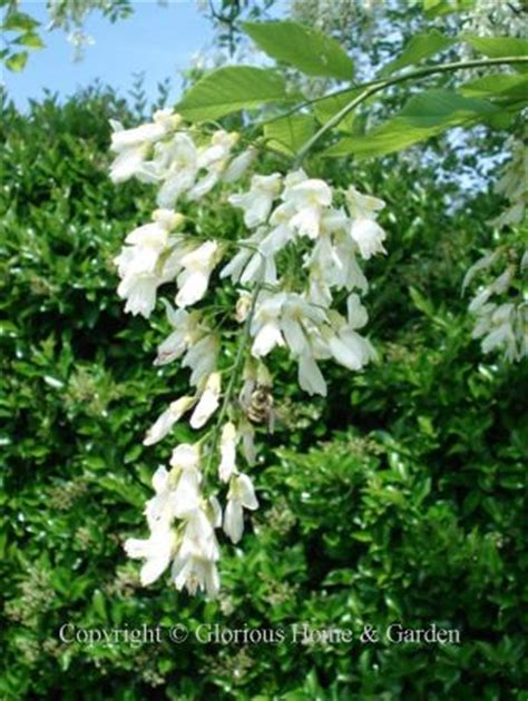 fragrant trees with white flowers flowering trees