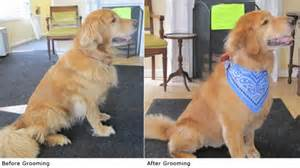 golden retriever haircuts golden retriever grooming needs dogs our friends photo
