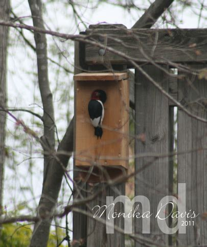 the red headed woodpecker sting together at monika s