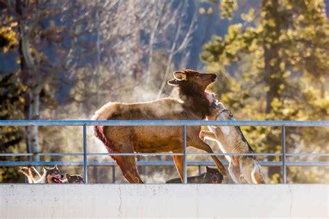 wolf pack hunts elk  canadian highway
