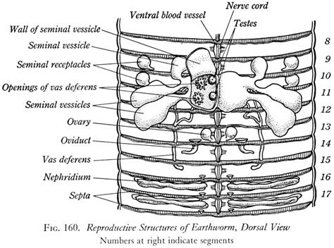 earthworm reproduction diagram earthworm dissection