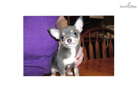 teacup chihuahua puppies for sale in houston texas teacup chihuahuas for sale in texas html autos weblog