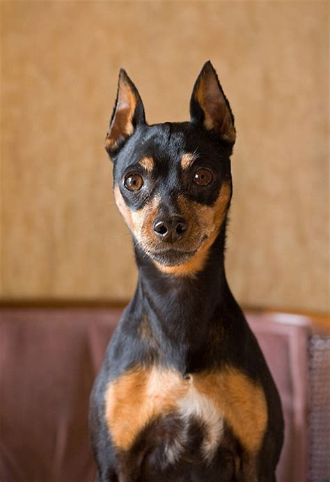 min pin images 53 best images about miniature doberman pinschers on