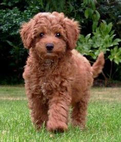 mini doodle rescue uk gaga labradoodles puppies for sale dogs for adoption
