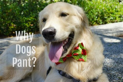 why dogs pant 5 reasons why dogs pant golden woofs sugar the golden retriever
