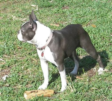 blue boston terrier puppies the gallery for gt blue boston terrier