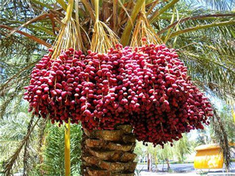 gambar pohon kurama daunbuah