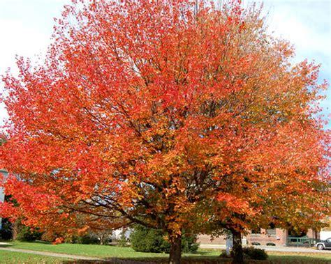 tree shop co uk red maple tree acer rubrum hardy