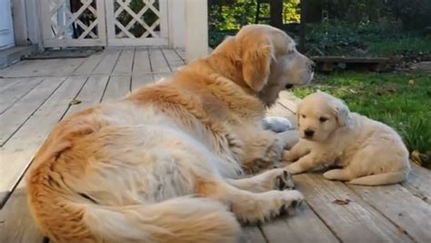 are golden retrievers family dogs golden retriever family