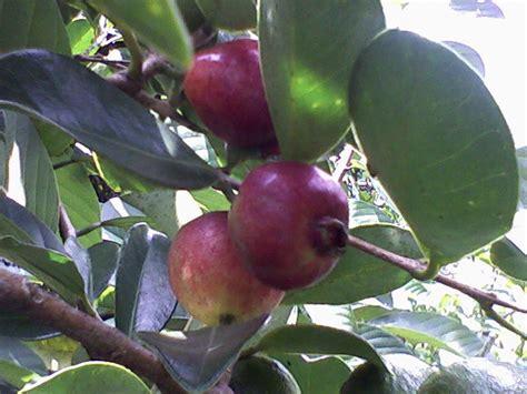 bibit buah bunton malang macam macam jambu biji