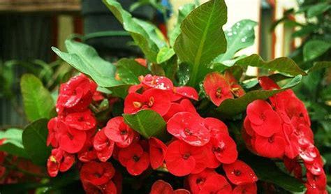 tanaman hias contoh tanaman hias yang tahan cuaca panas