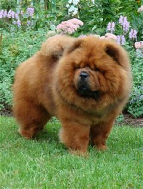 how much are chow chow puppies 1000 ideas about chow chow dogs on chow chow chow chow puppies and black