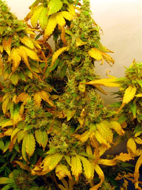 Light Burn by Led Grow Lights Can Burn Cannabis Buds Grow Easy