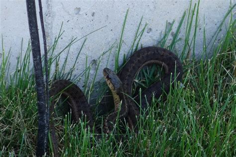 snake in my backyard garter snake in my backyard diy