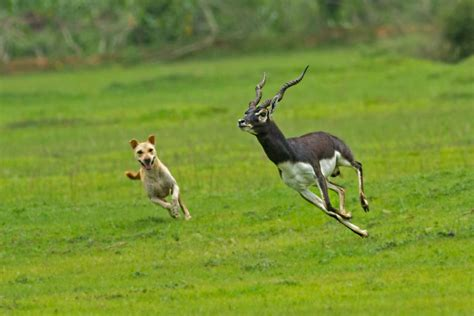picture of black buck blackbuck conservation india
