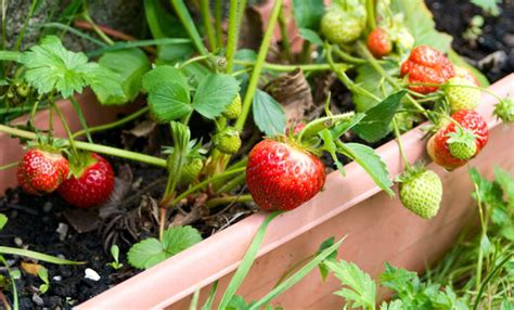 coltivare in vaso 10 piante da frutto da coltivare in vaso per avere un vero