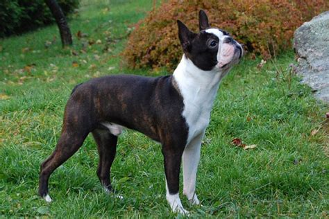 terrier puppies for free free boston terrier puppies home breeds puppies for sale boston terrier