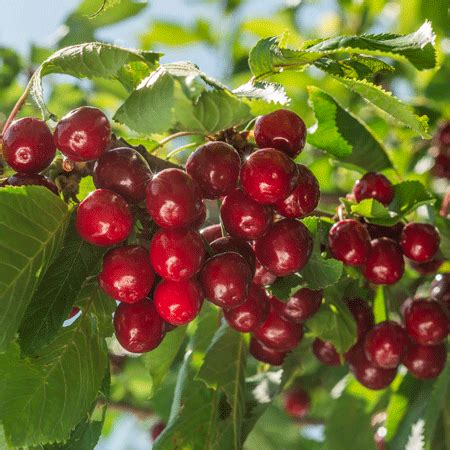 royal cherry tree for sale fast growing trees